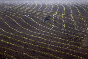 photo - Birds fly over a field of growing plants in Duisburg, Germany, Friday, May 17, 2013.  Weather forecasts predict  changeable weather for the next days.  (AP Photo/Frank Augstein)
