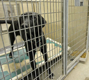 Photo - A female Labrador retriever is shown at the Oklahoma City Animal Shelter.  The Furball in Oklahoma City on Saturday will feature 100 black and black-and-white dogs and cats for adoption. PHOTO BY NATE BILLINGS, THE OKLAHOMAN