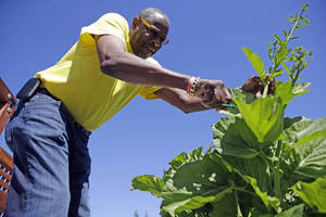 Photo - In this March 13, 2014 photo, Dusty Baker tends to greens in his garden at his home in Granite Bay, Calif. While his former players and fellow managers are busy preparing for opening day, Baker is busy tending to his crops, planning his next plantings and minding his vineyard and the several hybrid fruit trees that border it. Out of uniform for the first time since taking 2007 off between managerial jobs with the Cubs and Reds, Baker is not slowing down much from his pressure-packed days in the dugout. (AP Photo/Eric Risberg)