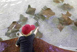 Photo - Reid Shaw,4, touches stingrays in the new Stingray Bay exhibit at the Oklahoma City Zoo,Tuesday July 16, 2013. Photo By Steve Gooch, The Oklahoman