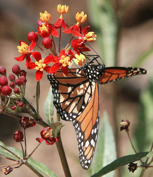 Photo - Right: A monarch butterfly looks for a meal on a tropical butterfly weed.