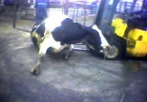 "Photo - FILE - In this April 22, 2010 file image from video provided by the United States Humane Society, a Hallmark Meat Packing slaughter plant worker is shown attempting to force a ""downed"" cow onto its feet by ramming it with the blades of a forklift in Chino, Calif. The yearslong battle between farm organizations and animal rights activists over laws prohibiting secretly filmed documentation of animal abuse is moving to federal courts as ag-gag laws in Utah and Idaho face constitutional challenges. Opponents of the law point to the Chino video and the investigation that followed, which led to the largest meat recall in U.S. history, saying the secrecy puts consumers at higher risk of food safety problems and animals at higher risk of abuse. (AP Photo/Humane Society of the United States, File)"