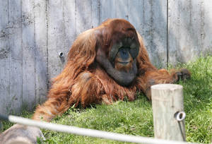 Photo - In this photo taken Tuesday, June 3, 2014, an orangutan relaxes at the Gorilla Forest at the Como Park Zoo in St. Paul, Minn. St. Paul's Como Park Zoo is small enough to be kid-friendly, but big enough to hold lions and tigers and polar bears. The Sparky the Sea Lion show has been a favorite since 1956, with a succession of performers as Sparky; the current mammal turns 14 this summer. Zoo keepers give daily free talks. (AP Photo/Jim Mone)