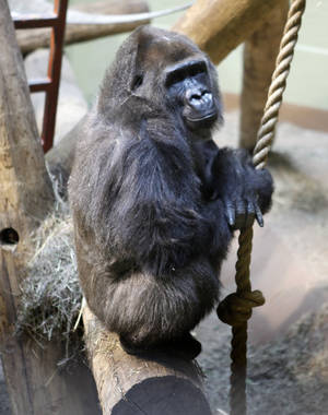 "photo - Female gorilla ""Kelele"" waits for her medicine sandwich at the Oklahoma City Zoo in Oklahoma City, OK, Thursday, Feb. 4, 2010. By Paul Hellstern, The Oklahoman"