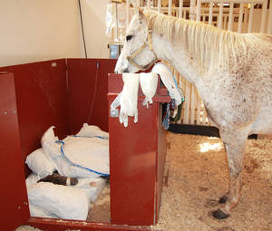 Photo - A mare looks over a sick foal in a barn  at Oklahoma State University. A new Equine Critical Care Unit will allow horses to be in a special area that allows for segregation. PHOTO PROVIDED BY OSU