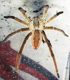 Photo - This is a courtesy photo from the University of  Tulsa showing the Brazilian Wandering  Spider. Wednesday, March 18, 2009 SHERRY BROWN/ Tulsa World