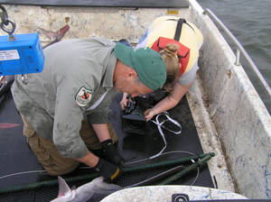 Photo - Brent Gordon, paddlefish research supervisor with the Oklahoma Wildlife Conservation Department, nets and tags a paddlefish. The Paddlefish Research Center sold more than 15,000 pounds of caviar in 2012, earning the agency $1.5 million dollars. <strong> - PROVIDED</strong>