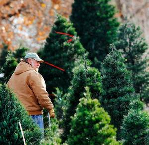 Photo - John Knight walks Thursday among trees waiting to be cut at his  business, Sorghum Mill Tree Farm, 7121 Midwest Lane, Edmond.  Photo by Jim Beckel, The Oklahoman