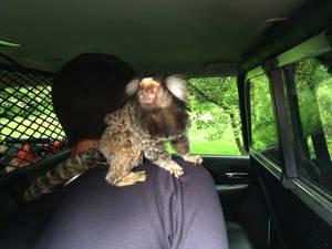 In this photo provided by the Burien Police Department, police officers detain a man with his monkey after he crashed into someone's yard in Burien, Wash., Wednesday, May 4, 2016. The monkey refused to be held by officers, however. They had to call the man's mother to pick up the animal. (Burien Police Department via AP) MANDATORY CREDIT