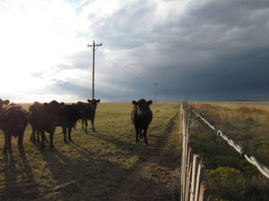 photo - In this Sept. 26, 2012 photo, cattle graze on a ranch outside of Encino, N.M. With extreme drought drying out grazing land and driving up hay prices, authorities in drought-stricken states say some ranchers have started stealing hay, cutting neighbors¬aa fences or leaving gates open so their cattle can graze on greener pastures. (AP Photo/Russell Contreras) ORG XMIT: RPRC101