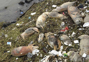 Photo - In this photo taken Thursday March 7, 2013 and made available Sunday, March 10, 2013, dead pigs are strewn along the riverbanks of Songjiang district in Shanghai, China. Chinese officials say they have fished out 900 dead pigs from a Shanghai river that is a water source for city residents. Officials are investigating where the pigs came from. A statement posted Saturday on the city's Agriculture Committee's website says they haven't found any evidence that the pigs were dumped into the river or of any animal epidemic. (AP Photo) CHINA OUT