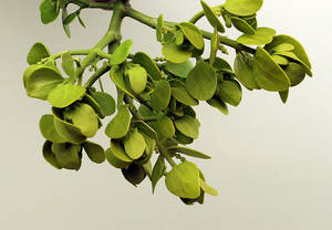 photo - PLANT, PLANTS: Mistletoe