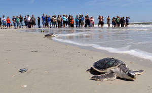 Photo -  A group of people watch a turtle swim to the ocean after rehabilitation April 22 in Jacksonville, Fla.  AP Photo  <strong>Bob Mack -  AP </strong>