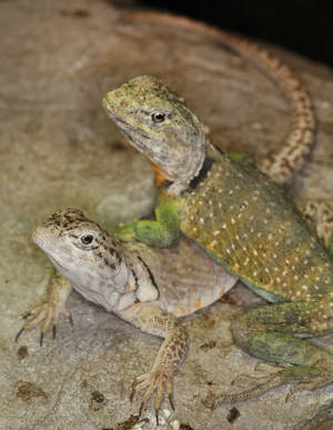Photo - A pair of collared lizards bask on a rock in their exhibit at the Oklahoma City Zoo, Tuesday September  24, 2013.The female is on the left. Photo By Steve Gooch, The Oklahoman
