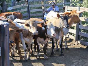 Photo - In this Oct. 1, 2013 photo, cows are herded into waiting trucks following an auction at the Oklahoma National Stockyard in Oklahoma City. Across rural America, farmers are feeling the effects of the federal government shutdown. During the shutdown, the USDA won't provide sales reports from Oklahoma livestock auctions that are used to help set prices on the Chicago Mercantile Exchange, state Department of Agriculture employee Jack Carson said. (AP Photo/Sue Ogrocki) ORG XMIT: OKSO301