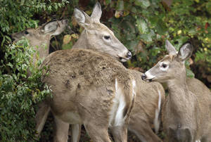 photo - The number of registered whitetail deer continues to increase, making the genetic history of each animal easier to trace. AP ARCHIVE PHOTO