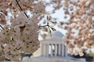 photo - FILE - In this March 19, 2012 file photo shows blooming cherry blossoms framing the Jefferson Memorial, on the Tidal Basin in Washington. The bloom season is one of a number around the country this spring celebrating flowers in season.  (AP Photo/Charles Dharapak, File)
