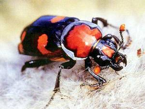 photo - An American burying beetle is seen in this close-up shot. Energy companies in Oklahoma are going to great lengths to keep from harming the endangered insects while drilling for oil and gas. Photo provided. <strong></strong>
