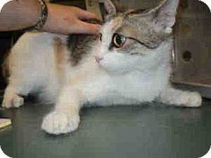 photo - Caroline is a feisty little cat who likes attention on her terms.  She has lots of personality and is very spunky. Caroline is 2 years old and weighs about 7.2 lbs. She is at the Edmond Animal Welfare Shelter. PHOTO PROVIDED BY EDMOND ANIMAL WELFARE SHELTER