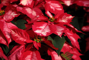 Photo - Shown are the leaves of an Ice Punch Poinsettia.  Photo by Jim Beckel, The Oklahoman <strong>Jim Beckel</strong>