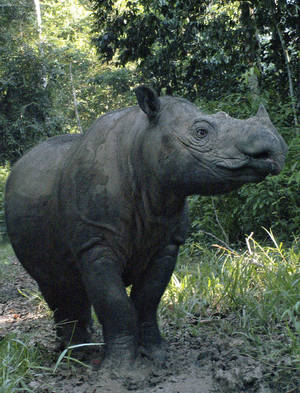 Photo -   FILE - In this 2010 file photo released by the Indonesian Rhino Foundation, locally known as Yayasan Badak Indonesia (YABI) and the International Rhino Foundation (IRF), a female Sumatran rhino named Ratu is seen at Way Kambas Rhino Reservation in Lampung, Indonesia. An Indonesian official said that 12-year-old Ratu has given birth to a male calf Saturday, June 23, 2012. It's only the fifth known to have been born in captivity. (AP Photo/Indonesian Rhino Foundation and International Rhino Foundation) NO SALES