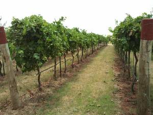 Photo - Mature vines at Clauren Ridge Vineyard and Winery. <strong> - PROVIDED</strong>