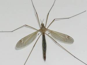 Photo - Crane flies, incorrectly known as ?mosquito hawks,? are large, brown flies with long legs that are abundant at this time of year.