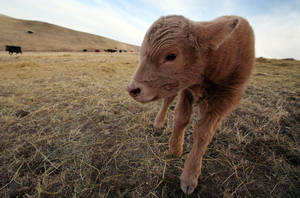 Photo - In this March 17, 2014 a newborn calf stands in a field on the O'Connor Ranch near Philip, South Dakota. The arrival of spring calving season brings hope to Chuck O'Connor who lost 45 of his 600 cows and 50 of his 600 calves in last fall's unexpected blizzard.  (AP Photo/Toby Brusseau)