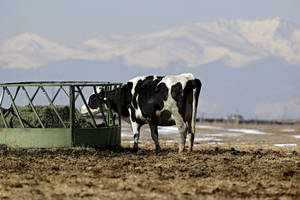 photo - A dairy cow, with a tail, feeds on hay at Johnson's Acres Dairy Farm near Brighton, Colo., on Wednesday, March 6, 2013. The Colorado Legislature is working on a bill that would make it illegal to cut off tails on dairy cows. The snow capped Rocky Mountains can be seen in the distance.  (AP Photo/Ed Andrieski)