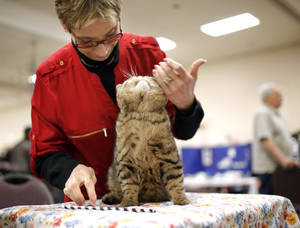 Photo -  Ruth West, of St. Louis, grooms Ivy Cat Nitro of Sno Myst during the cat show. Photo by Sarah Phipps, The Oklahoman  <strong>SARAH PHIPPS -   </strong>