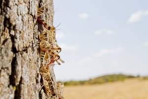 Photo - Grasshoppers gather on an oak tree on an Oklahoma ranch during the 2011 drought. Weather conditions this spring have created an ideal environment for grasshoppers.  photo provided by the Samuel Roberts Noble Foundation
