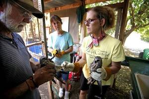 Photo - Rondi Large (right), Kristy Wicker, and Tom Sanders log banding numbers as they prepare to release recovered Mississippi Kites at WildCare on Thursday, August 25, 2011, in Noble, Okla.   Photo by Steve Sisney, The Oklahoman ORG XMIT: KOD