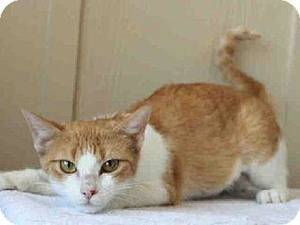 photo - Mango is an orange and white domestic shorthair who has had a rough life. She was found in a dumpster with her four babies. When she arrived at the shelter she was very timid, but with time she is coming around and will make someone a wonderful pet. She is at the Edmond Animal Welfare Shelter. Mango is 2 years old and weighs about. 6.7 pounds. PHOTOS PROVIDED BY EDMOND ANIMAL WELFARE SHELTER