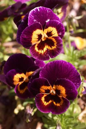 Photo - Kirkpatrick Gardens at the Omniplex. Joker Pokerface Pansy.