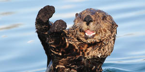 Photo - Sea Otter (Enhydra lutris)