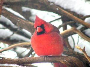Photo - The northern cardinal is commonly seen during Christmas Bird Counts in Oklahoma. <strong></strong>