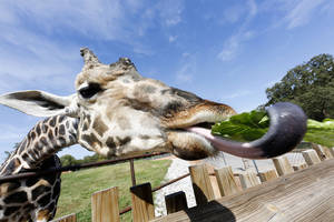 Photo - Bogie, a male Rothschild's giraffe, eats lettuce during the afternoon feeding at the Oklahoma City Zoo.