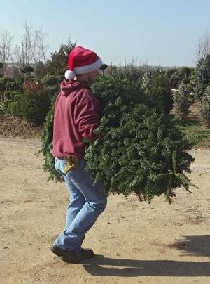 Photo - Martinbird Tree Farm employee Steven Giese carries a cut Christmas tree for a customer.