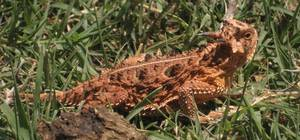 photo - The Texas Horned Lizard is the subject of an Oklahoma City film maker's new documentary. Photo by Stefanie Leland