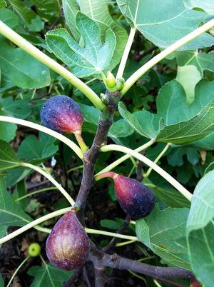 Photo - Fresh figs grow locally. PHOTO BY SHERREL JONES, THE OKLAHOMAN <strong>SHERREL JONES - THE OKLAHOMAN</strong>