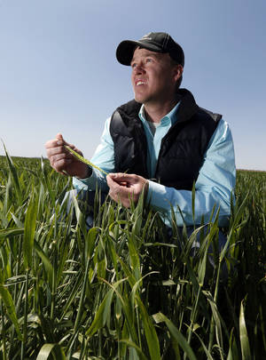 Photo - Wheat farmer Zac Harris examines his crop for disease and freeze damage Friday in Hobart.  Photo by Steve Sisney, The Oklahoman