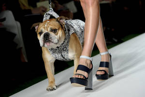 Photo - A model and bulldog wear a design created by Mulberry during London Fashion Week Spring/Summer 2014, at Claridges Hotel in central London, Sunday, Sept. 15, 2013. (Photo by Jonathan Short/Invision/AP)