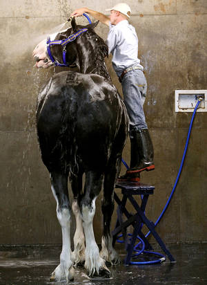 Photo - Express Clydesdales general manager Josh Minshull uses a stepladder to reach the top of Troy, one of the Express Ranches Clydesdales, during the 2009 Oklahoma State Fair. Minshull said it takes 20 to 30 minutes to wash each horse. PHOTO BY JOHN CLANTON, OKLAHOMAN ARCHIVE