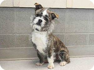 photo - Mikey is high-energy and would do best with an active family. He loves to go for walks and to run around in the yard. Mikey is 1 year old and weighs about 12 pounds. He is available at the Edmond Animal Welfare Shelter. PHOTOS PROVIDED