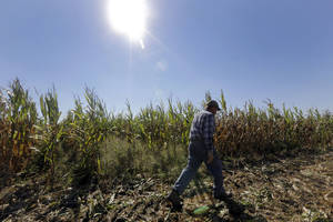 Photo - FILE  - In this Oct. 16, 2013 file photo, Larry Hasheider walks along one of his corn fields on his farm in Okawville, Ill. Cuts in food stamps, continued subsidies to farmers and victories for animal rights advocates. The massive farm bill heading toward final passage this week has broad implications for just about every American from the foods we eat to what we pay for them. Five things you should know about the legislation. (AP Photo/Jeff Roberson, File)