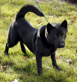 photo - This 2-year-old black akita is available for adoption at Norman Animal Welfare, 3428 S Jenkins Ave. He is current on shots and will be neutered before adoption is finalized. He also has an identifying microchip implant. Fee is $60. For more information, call 292-9736. PHOTO BY STEVE SISNEY, THE OKLAHOMAN