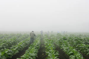 Photo - FILE - Farm workers make their way across a field shrouded in fog as they hoe weeds from a burley tobacco crop near Warsaw, Ky., early in this Thursday, July 10, 2008 file photo. You may have to be at least 18 to buy cigarettes in the U.S., but children as young as 7 are working long hours in fields harvesting nicotine- and pesticide-laced tobacco leaves under sometimes hazardous and sweltering conditions, according to a report released Wednesday May 14, 2014 by  Human Rights Watch. (AP Photo/Ed Reinke, File)