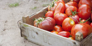 Photo - Crate of organic tomatoes