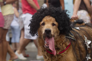 "Photo - A disguised dog is seen during the ""Blocao"" dog carnival parade in Rio de Janeiro, Brazil, Sunday, Feb. 3, 2013. According to Rio's tourism office, Rio's street Carnival this year will consist of 492 block parties, attended by an estimated five million Carnival enthusiasts. (AP Photo/Silvia Izquierdo)"