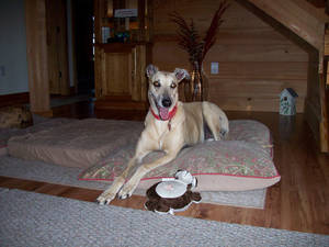 photo - Cocopuff is a 12-year-old greyhound owned by Christine Anderson of Lady Lake, Florida. Photo provided